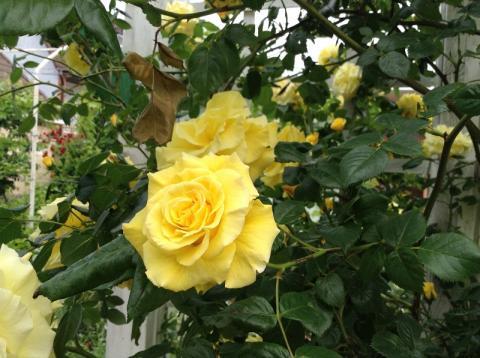 """У нас зацвели новые сорта роз! - Усадьба """"Дом Роз"""" - Частное домовладение Заозерного"""